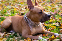 American Staffordshire terrier dog lying Royalty Free Stock Photo