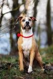 American staffordshire terrier dog posing outdoors. American staffordshire terrier dog outdoors stock image
