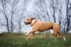 American staffordshire terrier dog running outdoors. American staffordshire terrier dog outdoors royalty free stock photo