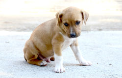 American Staffordshire Terrier dog Stock Image