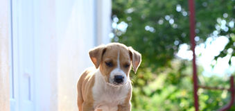 American Staffordshire Terrier dog Royalty Free Stock Photos