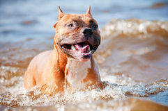 American staffordshire terrier dog playing on the beach Royalty Free Stock Photography
