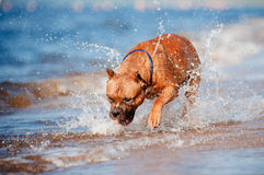 American staffordshire terrier dog playing on the beach Royalty Free Stock Photo