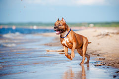 American staffordshire terrier dog playing on the beach Stock Image