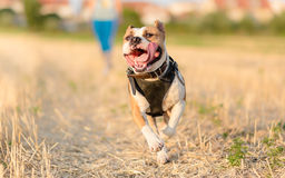 American Staffordshire Terrier dog Royalty Free Stock Image