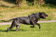 American Staffordshire Terrier dog running Stock Image