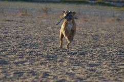 American Staffordshire terrier dog running with a rope in his mo Stock Image