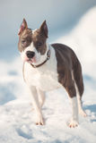 American staffordshire terrier dog running in winter Stock Photo