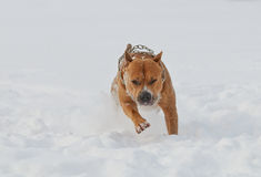 American staffordshire terrier dog running in winter Royalty Free Stock Photography