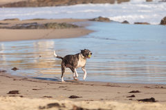 American Staffordshire terrier dog. Runs and plays along a beach in New England, Cape Cod, Massachusetts royalty free stock photos