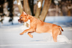 American staffordshire terrier dog runs in the snow Royalty Free Stock Photos
