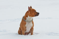 American Staffordshire Terrier dog siting in the snow Royalty Free Stock Photography