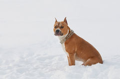 American Staffordshire Terrier dog in the snow Royalty Free Stock Photo