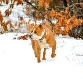 american staffordshire terrier dog on a snow Stock Photo