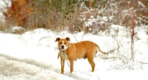 american staffordshire terrier dog on a snow Royalty Free Stock Photos
