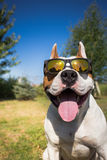 American staffordshire terrier Stock Images