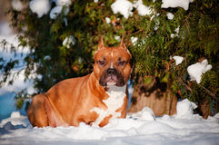 American staffordshire terrier dog winter portrait Stock Photo