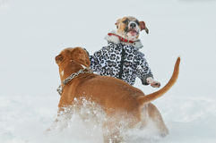 American staffordshire terrier dogs having fun in winter Stock Images