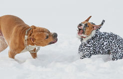 American staffordshire terrier dogs having funny play in win Royalty Free Stock Image