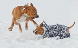 American staffordshire terrier dogs playing in winter Stock Photos