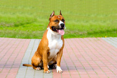 American Staffordshire Terrier fawn and white. Royalty Free Stock Image