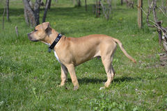 American Staffordshire Terrier in the garden Royalty Free Stock Photo
