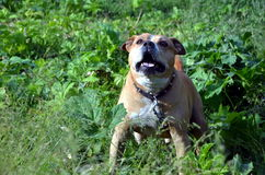 American Staffordshire Terrier Stock Photography