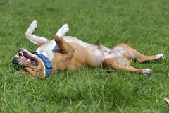 American Staffordshire Terrier happy lying on his back Stock Photo