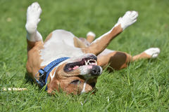 American Staffordshire Terrier happy lying on his back Royalty Free Stock Images