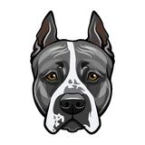American staffordshire terrier head face. Dog portrait. Vector. American staffordshire terrier head face. Dog portrait. Vector illustration Royalty Free Stock Image