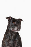 American Staffordshire Terrier head portrait Royalty Free Stock Photos