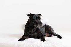 American Staffordshire Terrier head portrait Stock Image