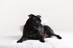 American Staffordshire Terrier head portrait Stock Images