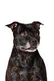 American Staffordshire Terrier head portrait Stock Photos