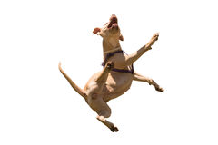 American Staffordshire terrier jumping isolated on white. Stock Image