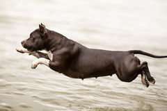 American Staffordshire Terrier jumping into water Royalty Free Stock Image