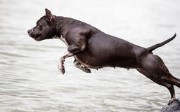 American Staffordshire Terrier jumping in water Royalty Free Stock Photos