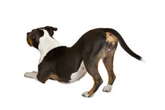 American staffordshire terrier lean Royalty Free Stock Photos