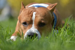 American Staffordshire Terrier lies in the grass Stock Photos