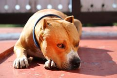 American Staffordshire Terrier dog lying. American Staffordshire Terrier lies on the ground and waits for his owner. Friendly Amstaff dog Stock Images