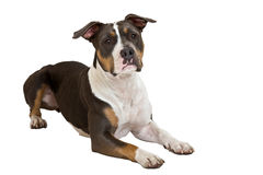 American staffordshire terrier listen Royalty Free Stock Image