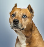American Staffordshire Terrier, looking up, Royalty Free Stock Photo