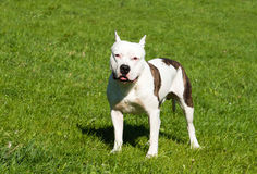 The American Staffordshire Terrier looks. Stock Images