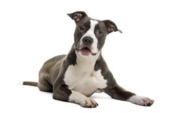 American Staffordshire Terrier lying, isolated Royalty Free Stock Image