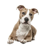 American Staffordshire Terrier lying, isolated on white stock photos