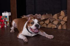 American staffordshire terrier is lying near the fireplace with firewood. Pet animals. Christmas presents. Traditional holidays royalty free stock photography