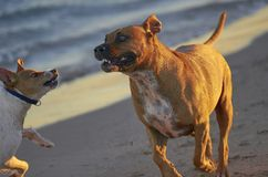 American Staffordshire terrier and Mongrell dog, Podenco, Jack R. Ussel terrier running on a beach stock images