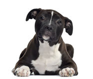 American Staffordshire terrier, 4 months old, lying Stock Images