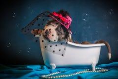 American Staffordshire Terrier nimmt ein Bad Lizenzfreie Stockfotografie