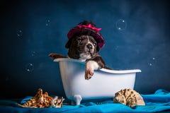 American Staffordshire Terrier nimmt ein Bad Stockfoto